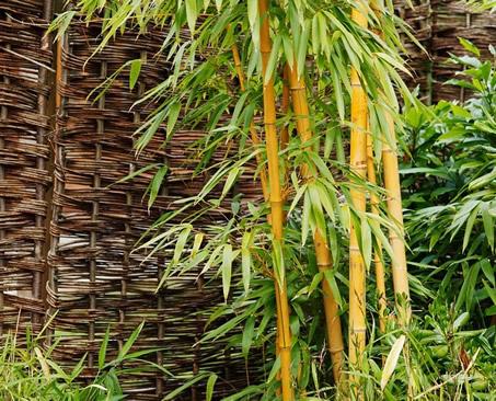 bambus pflanzen im garten tipps auswahl pflege. Black Bedroom Furniture Sets. Home Design Ideas