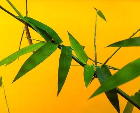 Beliebt Bevorzugt Bambus pflanzen im Garten - Tipps, Auswahl, Pflege &ZF_34