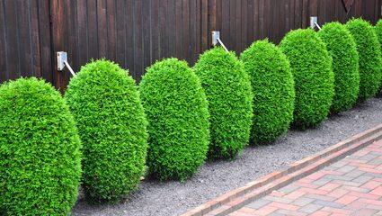 Buchsbaum   Pflanzen, Schneiden, Pflegen