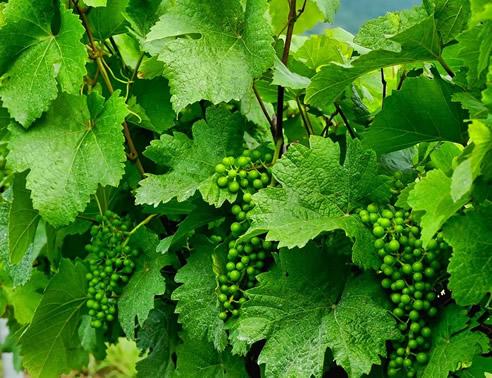Fabelhaft Weinstock / Weinrebe im Garten pflanzen - Tipps und Tricks #IP_63