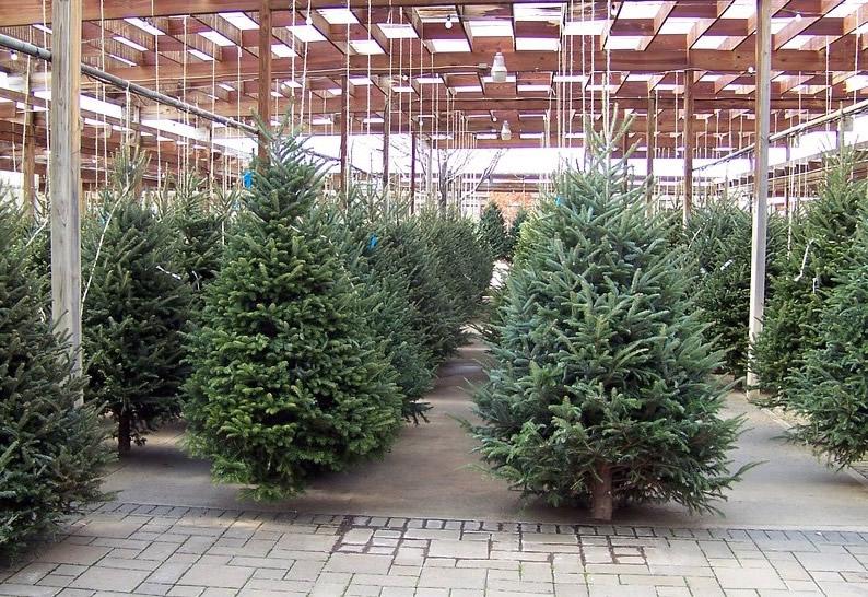 weihnachtsbaum nach dem fest einpflanzen leicht gemacht. Black Bedroom Furniture Sets. Home Design Ideas