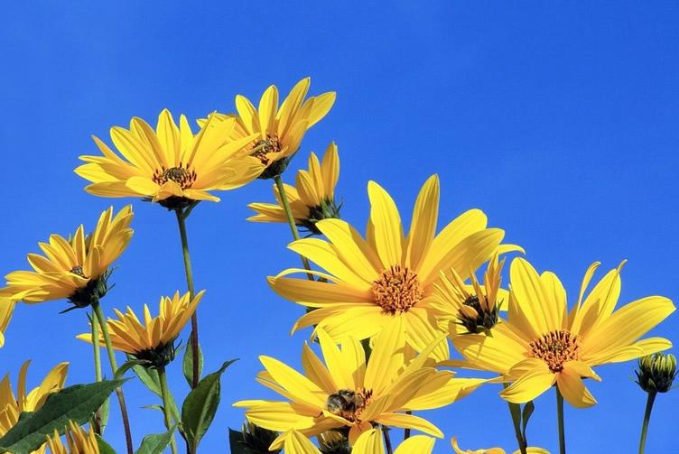 Topinambur Eigenanbau Kultivierung Verwendung Im Garten