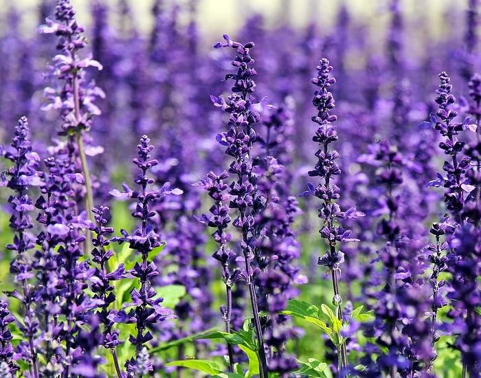 Lavendel-braucht-wenig-Wasser