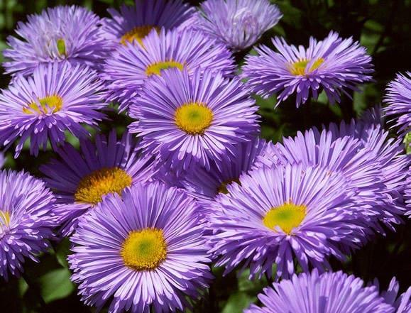 Violette Blüten des Berufkrauts