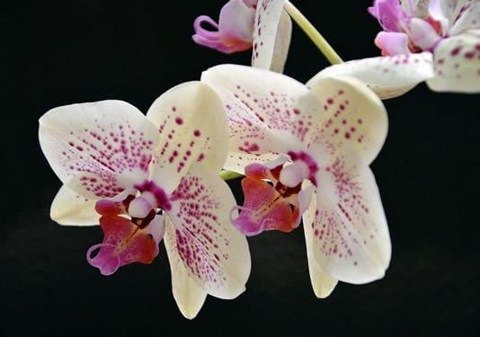 Schöne Blüte der Aerides Orchidee