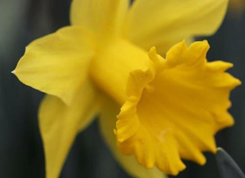 Gelbe Narzisse geeignet für Menschen mit Allergien