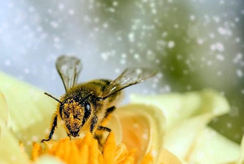 Biene bestäubt Blume mit viel Pollenflug